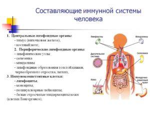 Составляющие иммунной системы человека